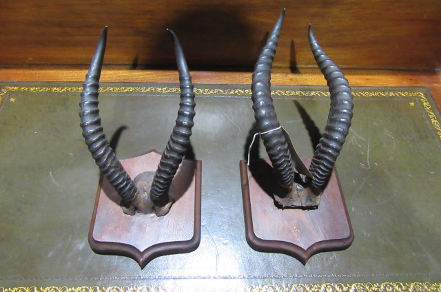 TWO PAIRS OF ANTIQUE HORNS