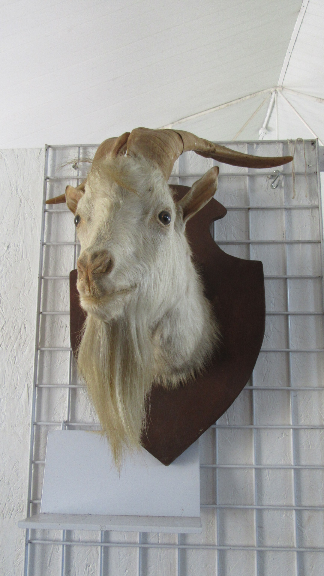 ANTIQUE TAXIDERMY GOATS HEAD